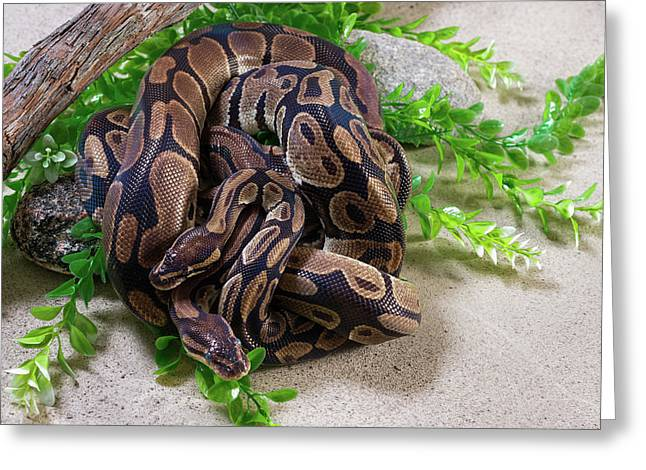 Two Burmese Pythons Python Bivittatus Greeting Card