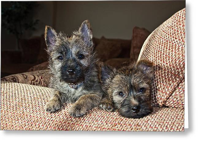 Two Cairn Terrier Puppies Lying Greeting Card by Zandria Muench Beraldo