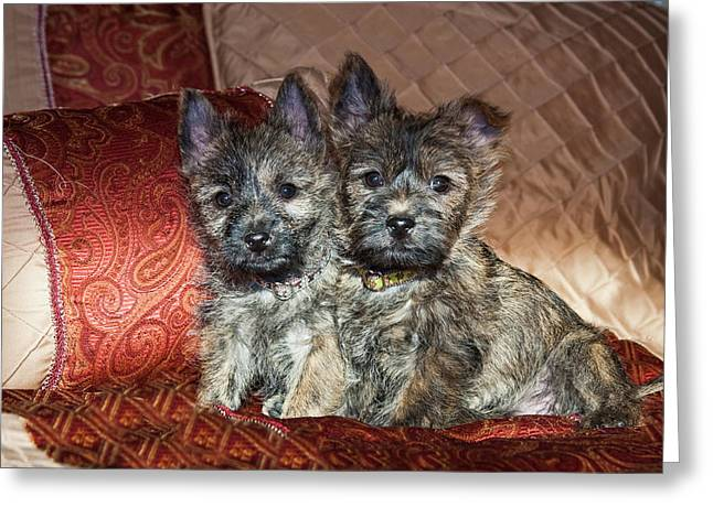 Two Cairn Terrier Puppies Sitting Greeting Card by Zandria Muench Beraldo