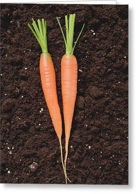 Two Carrots On Soil Greeting Card