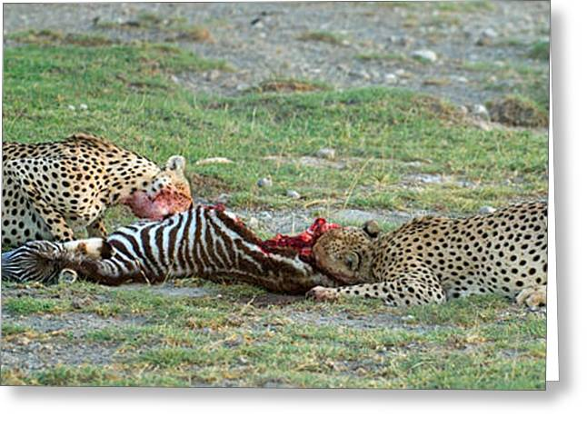 Two Cheetahs Acinonyx Jubatus Eating Greeting Card by Panoramic Images