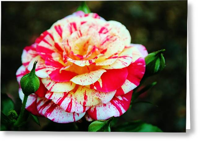 Two Colored Rose Greeting Card by Cynthia Guinn
