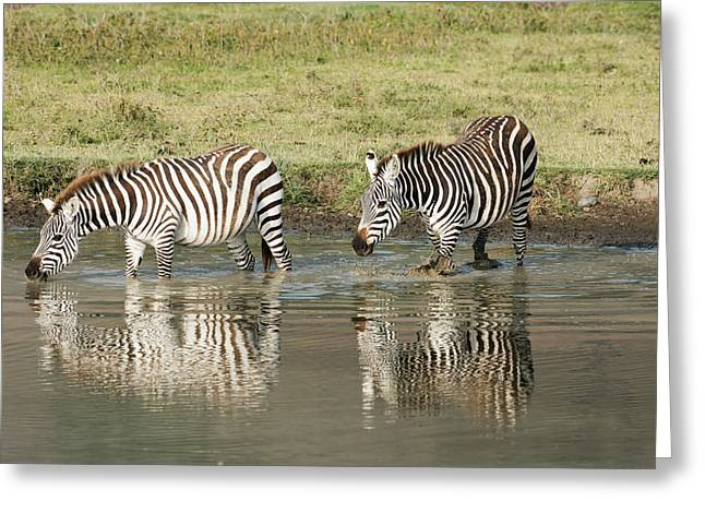 Two Common Zebra Drinking In Waterhole Greeting Card