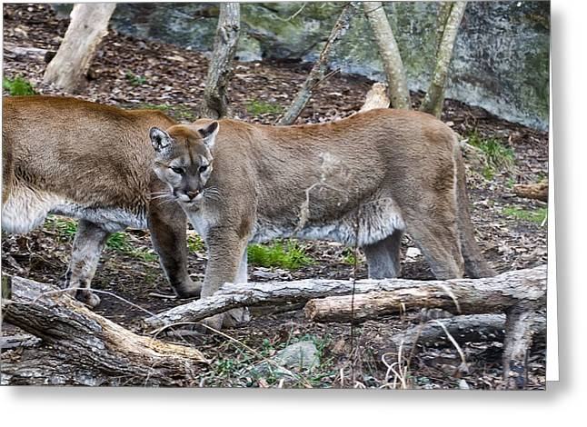 Two Cougars  Greeting Card by Chris Flees