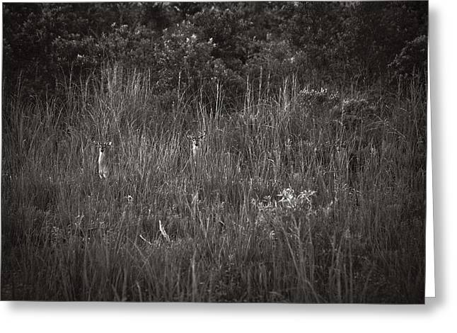 Two Deer Hiding Greeting Card by Bradley R Youngberg