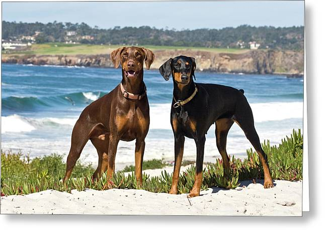 Two Doberman Pinschers At Carmel Beach Greeting Card by Zandria Muench Beraldo