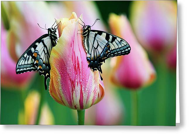Two Eastern Tiger Swallowtail Greeting Card by Jaynes Gallery