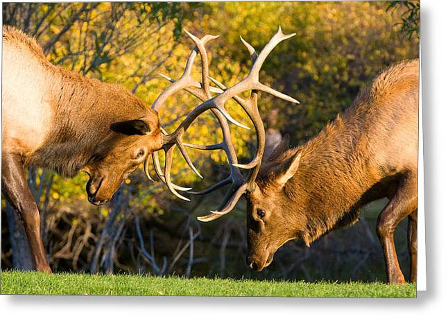 Two Elk Bulls Sparring Greeting Card