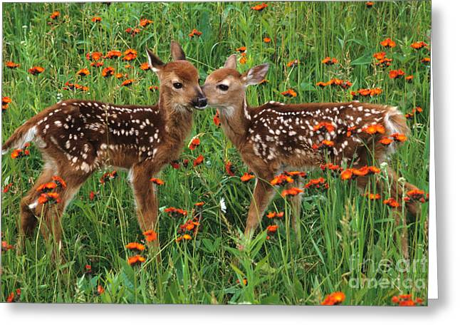 Two Fawns Talking Greeting Card by Chris Scroggins
