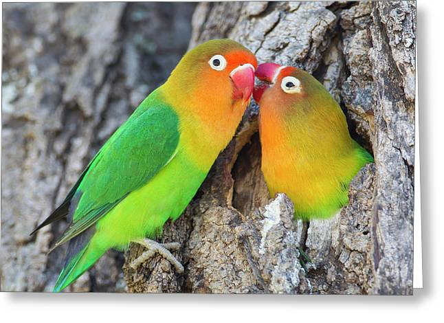 Two Fischer's Lovebirds (agapornis Greeting Card