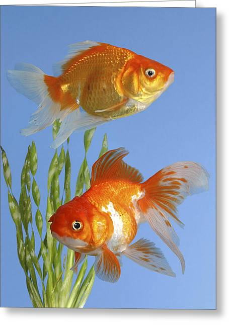 Two Fish Fs101 Greeting Card