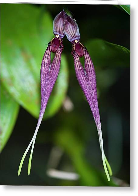 Two-flowered Orchid Greeting Card by Scubazoo
