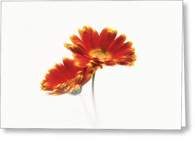 Two Flowers Head Against White Greeting Card