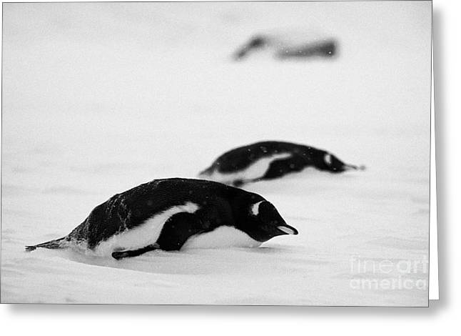 two gentoo penguins lying down in snowstorm blizzard whalers bay deception island Antarctica Greeting Card by Joe Fox