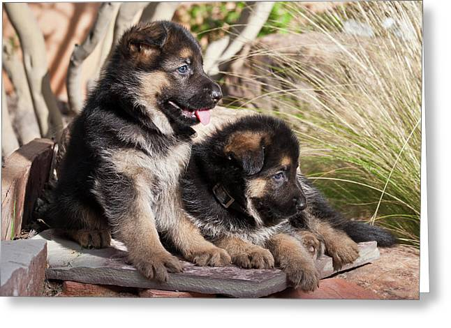 Two German Shepherd Puppies On A Rock Greeting Card by Zandria Muench Beraldo