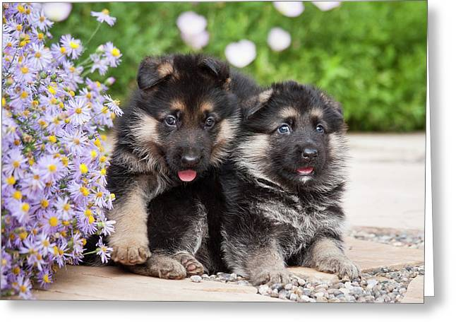 Two German Shepherd Puppies Sitting Greeting Card by Zandria Muench Beraldo