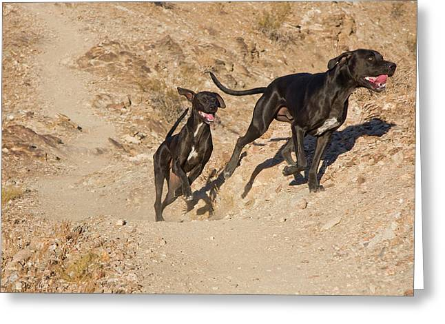 Two German Shorthaired Pointers Running Greeting Card
