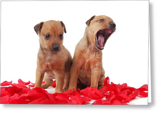 Two Golden Colored  Puppies Greeting Card by Perry Harmon