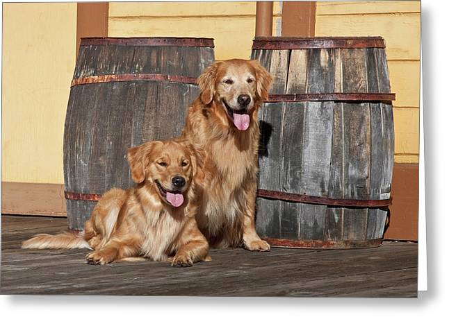 Two Golden Retrievers Next To Two Greeting Card
