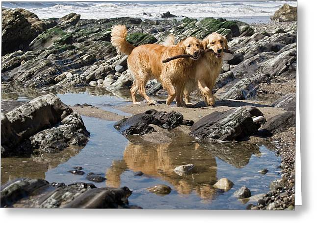 Two Golden Retrievers Walking Together Greeting Card