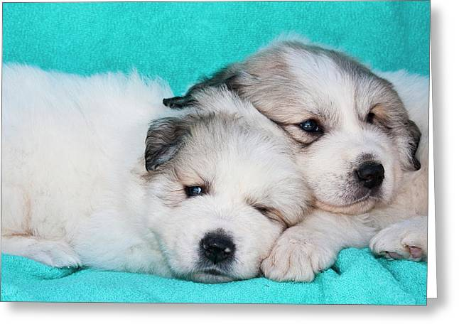 Two Great Pyrenees Puppies Lying Greeting Card by Zandria Muench Beraldo