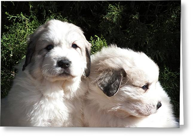 Two Great Pyrenees Puppies Sitting Greeting Card by Zandria Muench Beraldo
