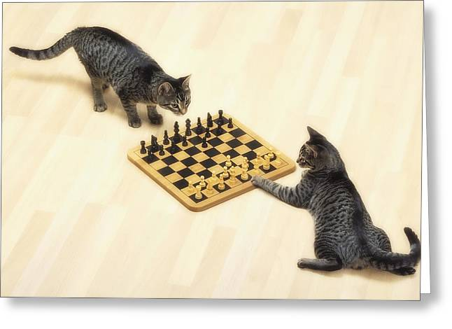 Two Grey Tabby Cats Playing Greeting Card by Thomas Kitchin & Victoria Hurst