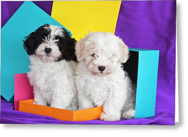 Two Havanese Puppies Sitting Together Greeting Card by Zandria Muench Beraldo