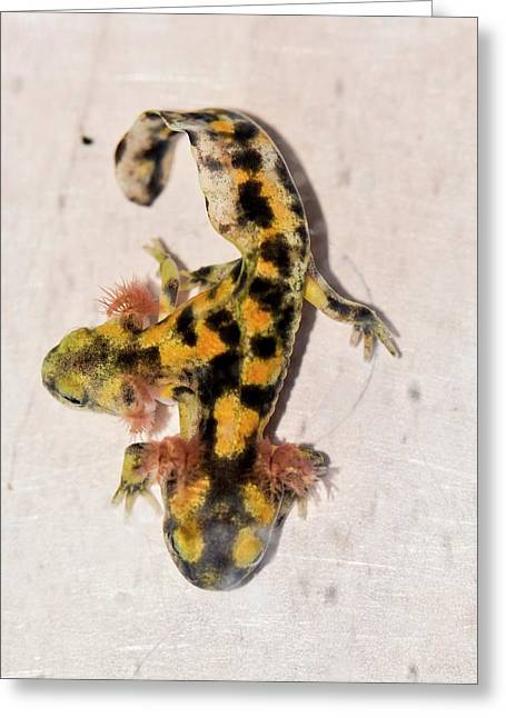 Two-headed Fire Salamander Greeting Card by Photostock-israel