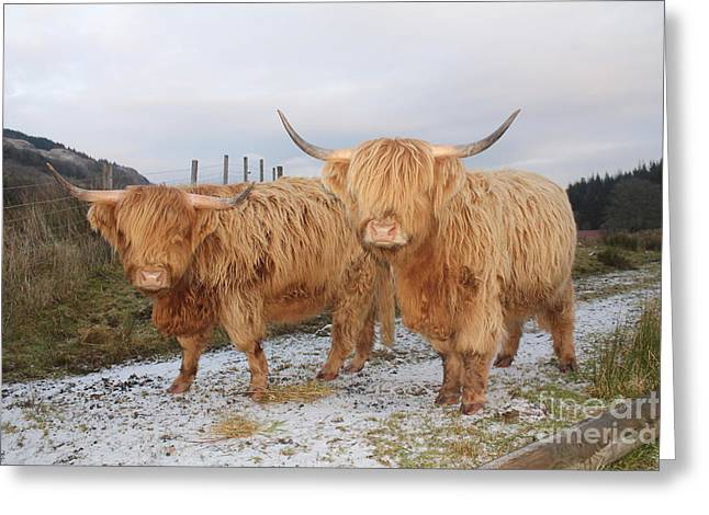 Two Highland Cows Greeting Card by David Grant