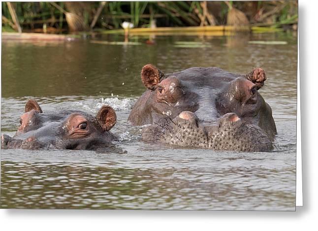 Two Hippopotamus Hippopotamus Amphibius Greeting Card by Panoramic Images