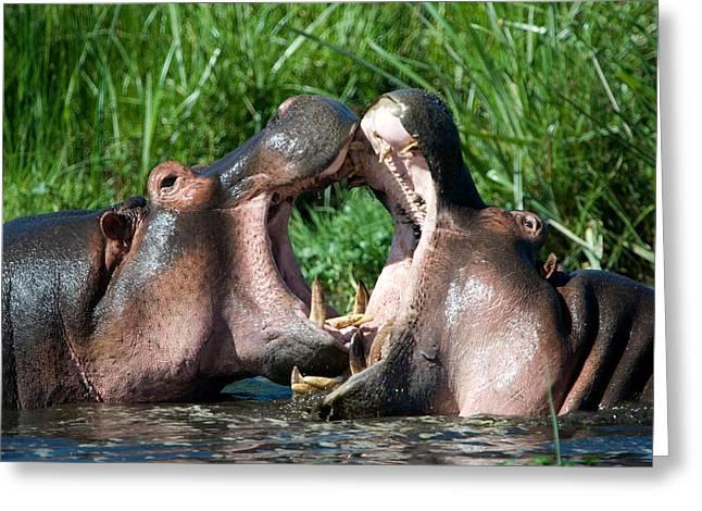 Two Hippopotamuses Hippopotamus Greeting Card by Panoramic Images