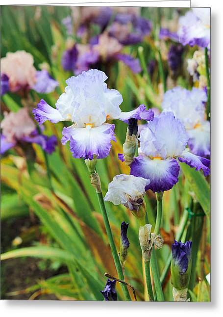 Greeting Card featuring the photograph Two Iris by Patricia Babbitt