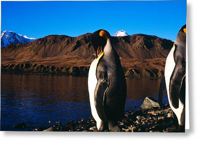 Two King Penguins Aptenodytes Greeting Card by Panoramic Images