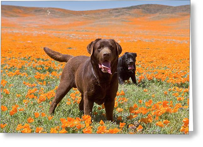 Two Labrador Retrievers Standing Greeting Card by Zandria Muench Beraldo