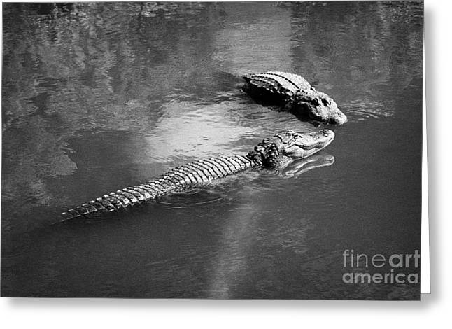 Two Large American Alligators Standing On Underwater Log Near Water Surface Florida Usa Greeting Card by Joe Fox