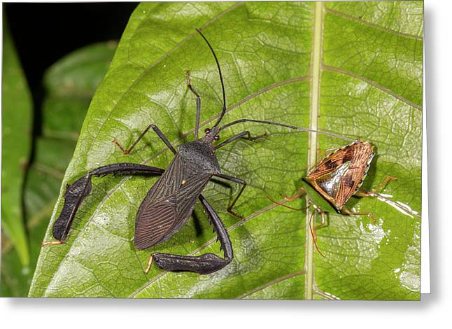Two Leaf-footed Bugs Greeting Card