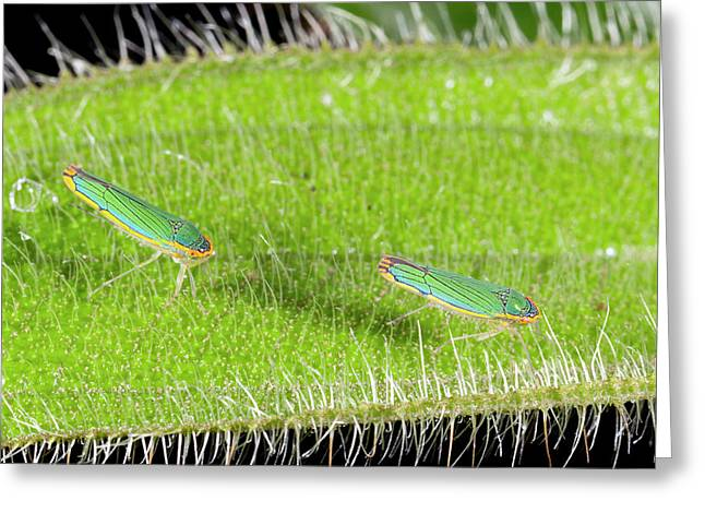 Two Leafhoppers On A Hairy Leaf Greeting Card