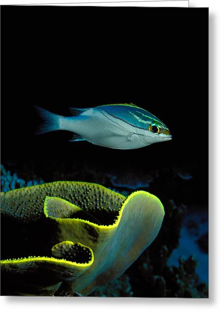 Two-lined Monocle Bream Scolopsis Greeting Card by Panoramic Images