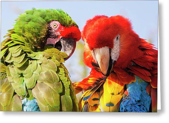 Two Macaws Preening Greeting Card by Piperanne Worcester