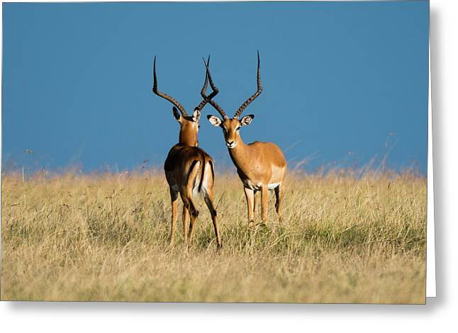 Two Male Impalas, Aepyceros Melampus Greeting Card