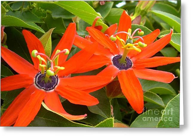 Two Passionflowers Greeting Card by Barbie Corbett-Newmin