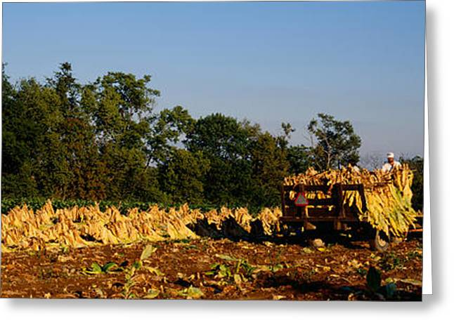 Two People Harvesting Tobacco Greeting Card by Panoramic Images