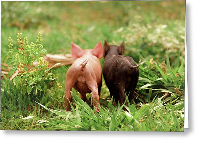 Two Piglets In The Grass Greeting Card by Ktsdesign