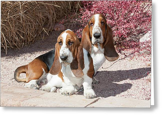 Two Purebred Bassett Hounds Sitting Greeting Card