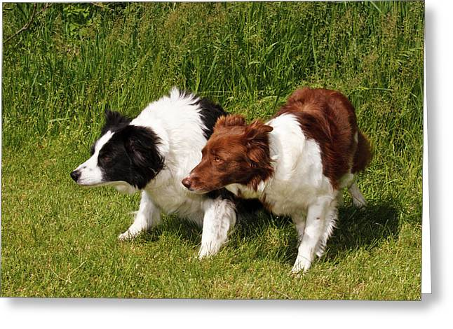 Two Purebred Border Collies, Crouched Greeting Card by Piperanne Worcester