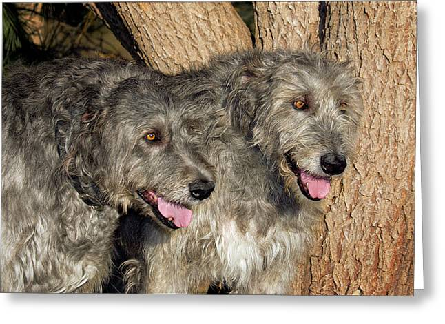 Two Purebred Irish Wolfhounds By A Tree Greeting Card