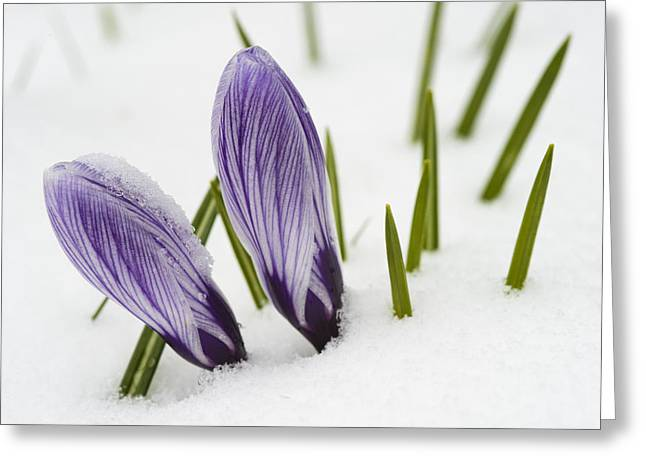 Two Purple Crocuses In Spring With Snow Greeting Card