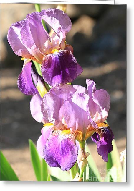 Two Purple Irises Greeting Card