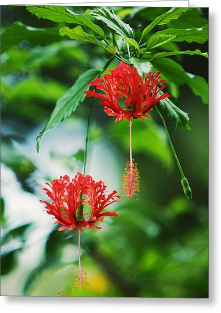 Two Red Hibiscus Greeting Card